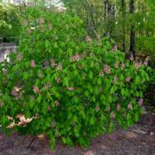 Location: Botanical Gardens of the State of Georgia...Athens, GaDate: 2018-04-21Red Horse Chestnut 002