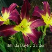 Photo courtesy of Billinda Daylily Garden