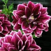 Photo courtesy of Swan Island Dahlias. Used with permis