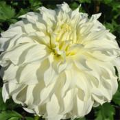 Photo courtesy of Swan Island Dahlias. Used with permission.