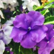 Photo of Yesterday, Today and Tomorrow (Brunfelsia pauciflora)