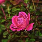 Photo of Roses (Rosa)