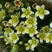 Photo of Mossy Rockfoil (Saxifraga muscoides)