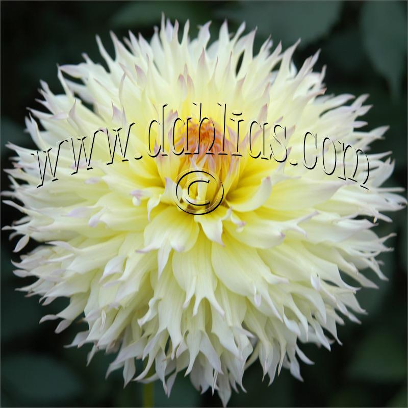 Photo of Dahlia 'Citron du Cap' uploaded by Joy