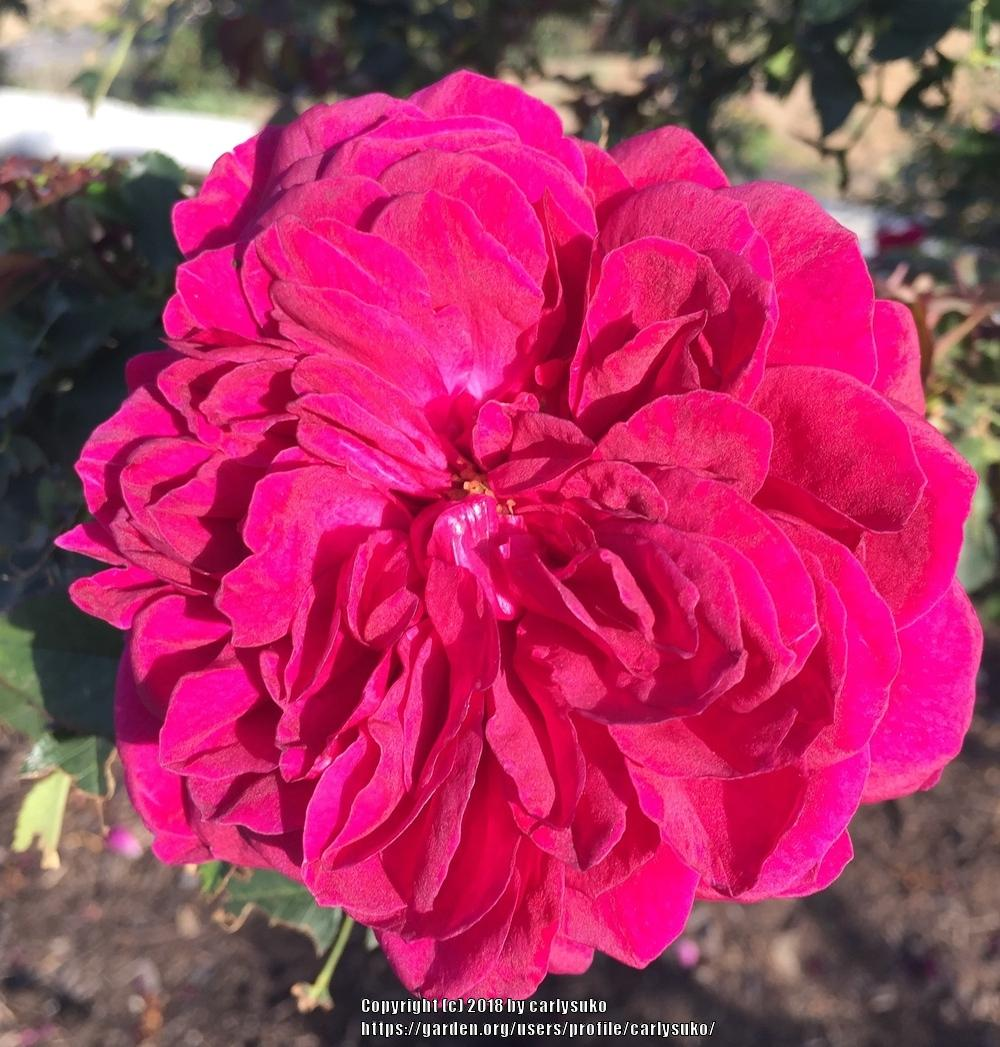 Photo of Rose (Rosa 'Sophy's Rose') uploaded by carlysuko