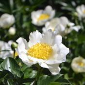 Location: Botanical Gardens of the State of Georgia...Athens, GaDate: 2018-04-27Peony 103