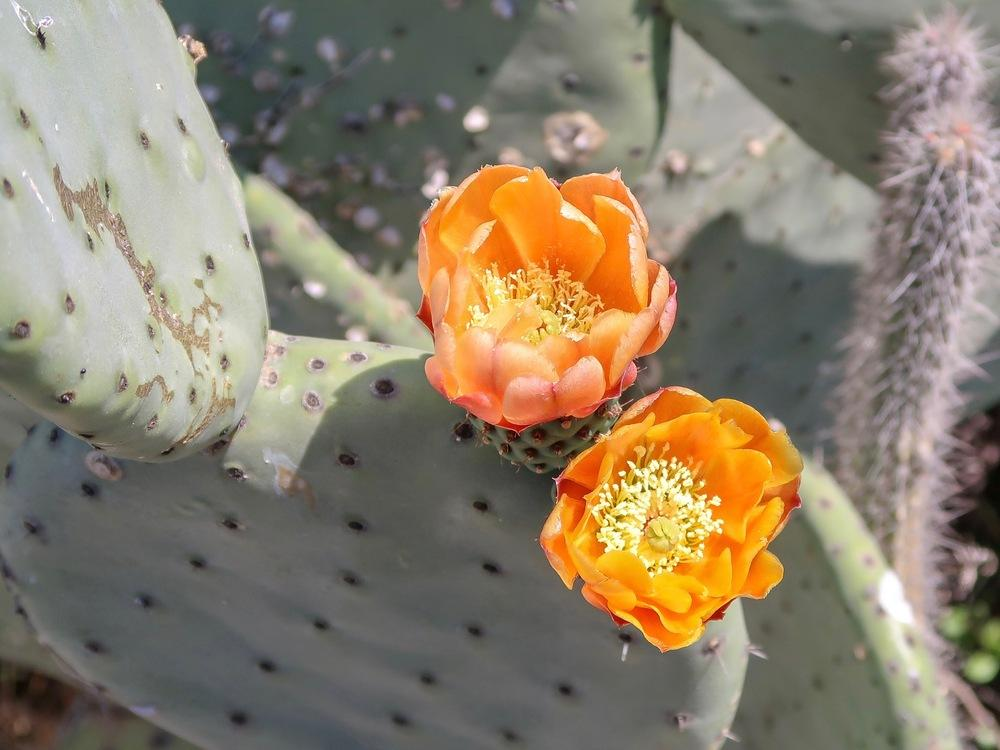 Photo of Indian Fig (Opuntia ficus-indica) uploaded by Baja_Costero