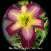 Date: 2012-06-26Photo courtesy of Northern Lights Daylilies