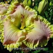 Date: 2010-05-14Photo courtesy of Northern Lights Daylilies