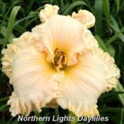Date: 2016-06-22Photo courtesy of Northern Lights Daylilies