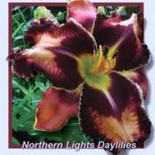 Photo courtesy of Northern Lights Daylilies