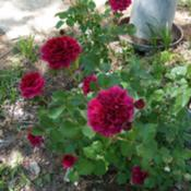 Location: Nocona,Texas zn.7 My gardensDate: 2018-04-29A favorite DavidAustin rose in my garden