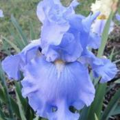 Photo courtesy of Comanche Acres Iris Garden