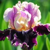 Photo courtesy of Pleasants Valley Iris Farm