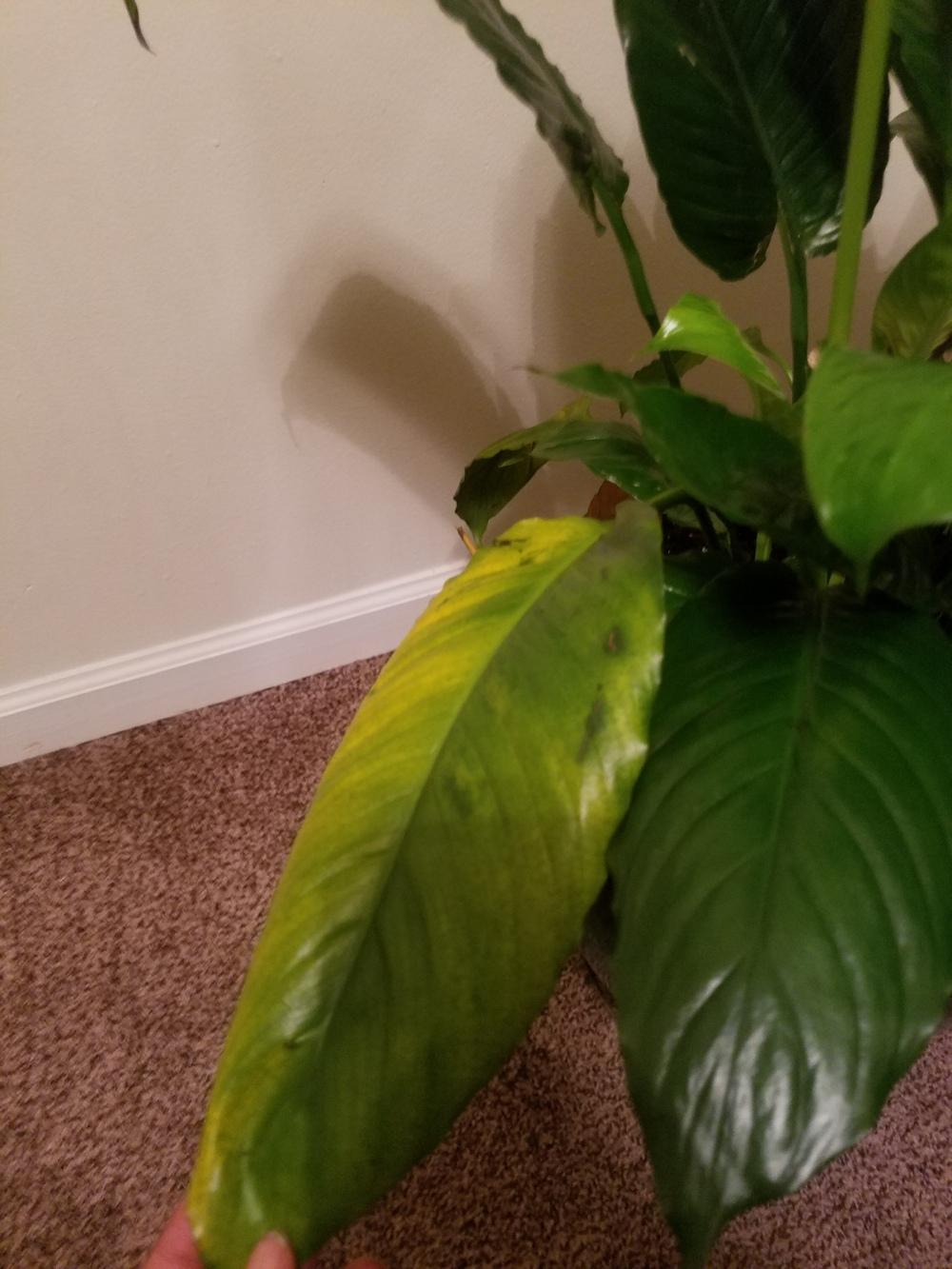 ask a question forum please help yellowing peace lily. Black Bedroom Furniture Sets. Home Design Ideas
