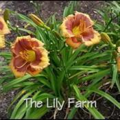Photo courtesy of The Lily Farm
