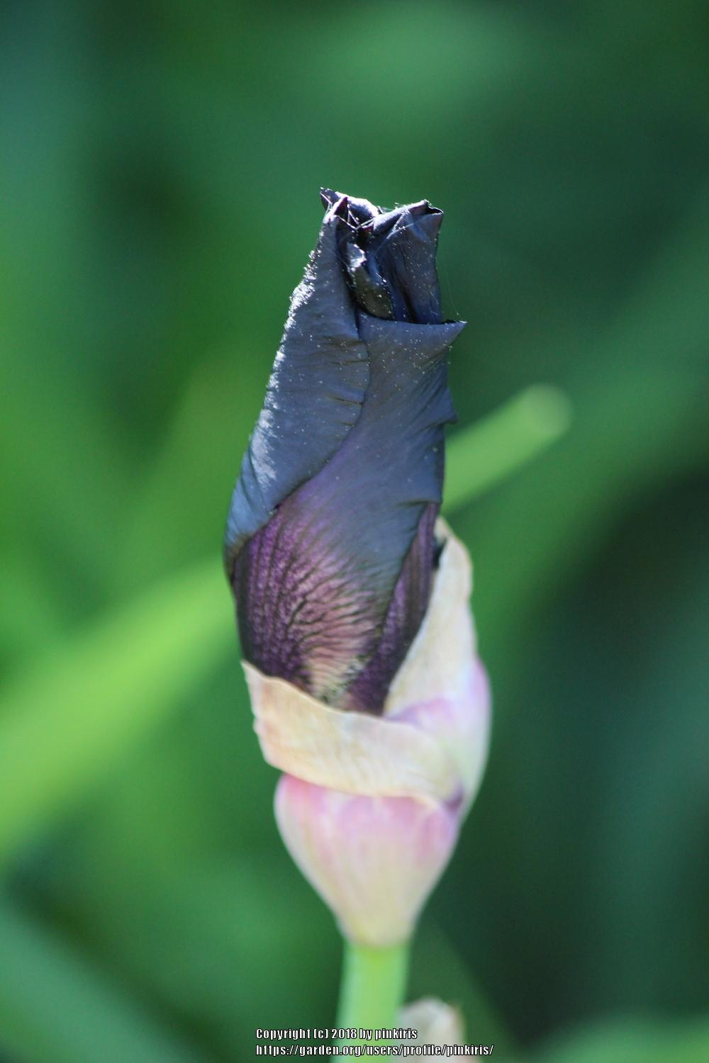 Photo of Tall Bearded Iris (Iris 'Before the Storm') uploaded by pinkiris