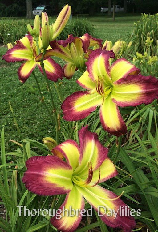 Photo of Daylily (Hemerocallis 'Rose F. Kennedy') uploaded by DaylilySLP