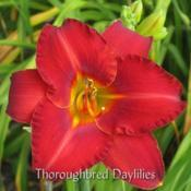 Photo courtesy of Thoroughbred Daylilies