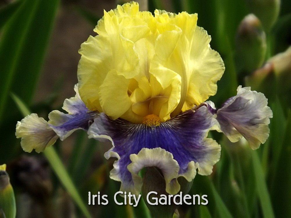 Photo of Tall Bearded Iris (Iris 'Evening Rounds') uploaded by DaylilySLP