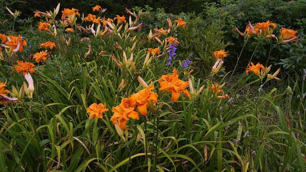 Photo of Daylily (Hemerocallis fulva 'Kwanso') uploaded by DaylilySLP
