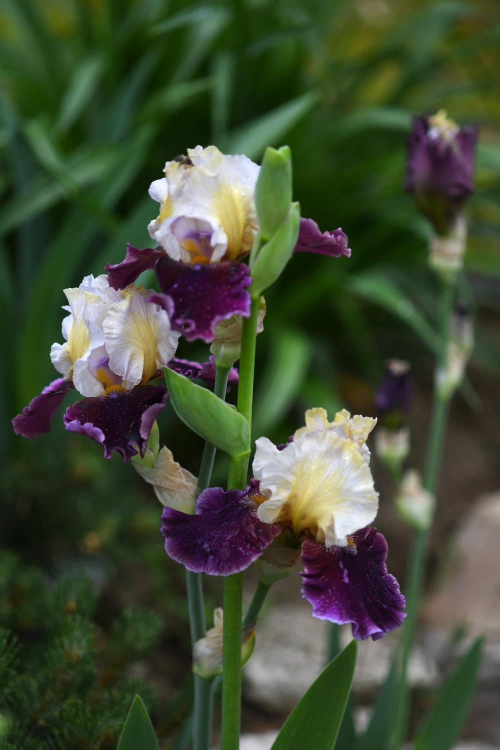 Irises plant care and collection of varieties garden add or edit informational text about this plant izmirmasajfo