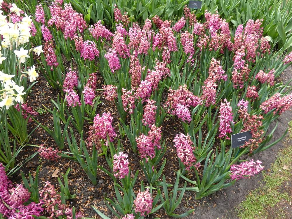 Photo of Hyacinth (Hyacinthus orientalis 'Gipsy Queen') uploaded by mellielong