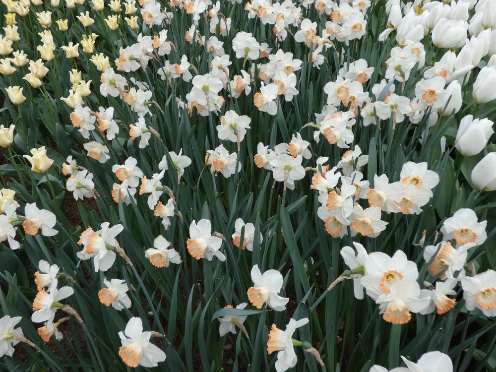Photo of Large-Cupped Daffodil (Narcissus 'Pink Charm') uploaded by mellielong