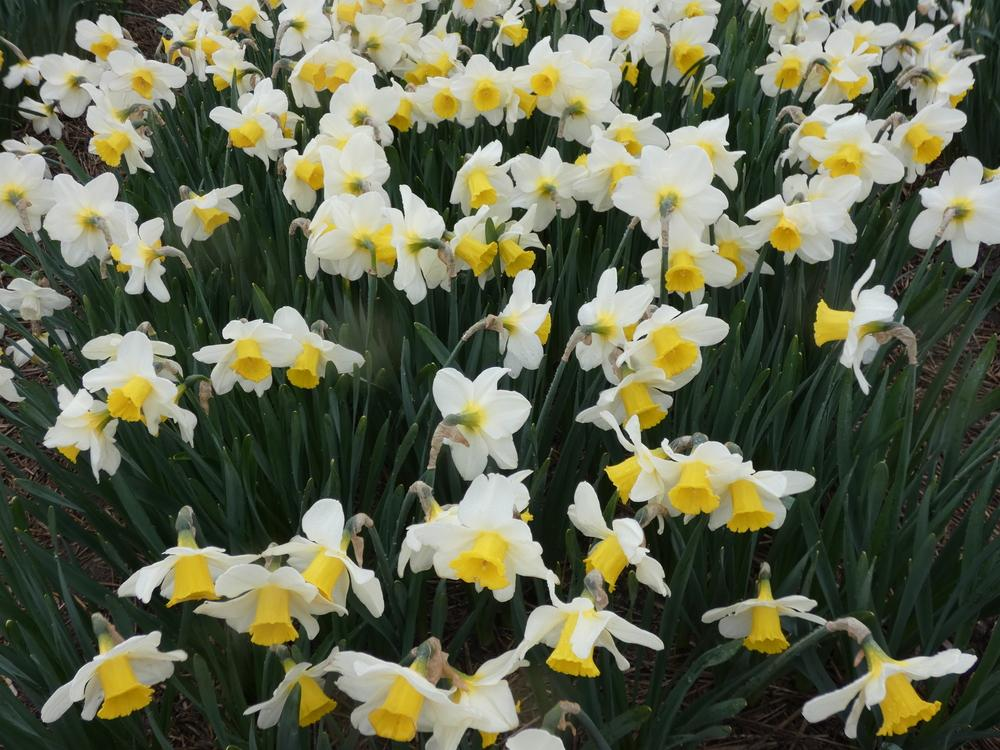 Photo of Large-Cupped Daffodil (Narcissus 'Merels Favourite') uploaded by mellielong