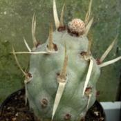 Location: From my collection. Poland.Date: 2018-05-02Tephrocactus articulatus var. papyracanthus