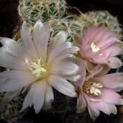 Location: From my collection. Poland.Date: 2018-05-03Gymnocalycium bruchii ssp. niveum