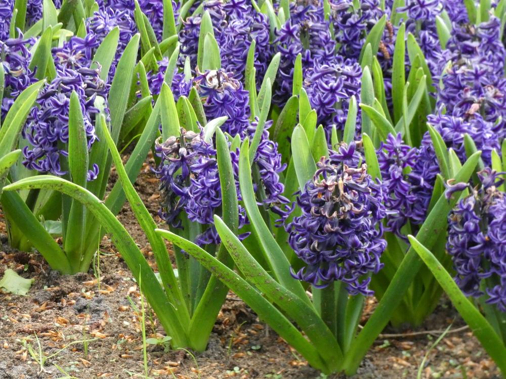 Photo of Hyacinth (Hyacinthus orientalis 'Rembrandt') uploaded by mellielong