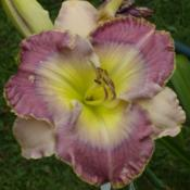 Photo courtesy of Flourishing Daylilies