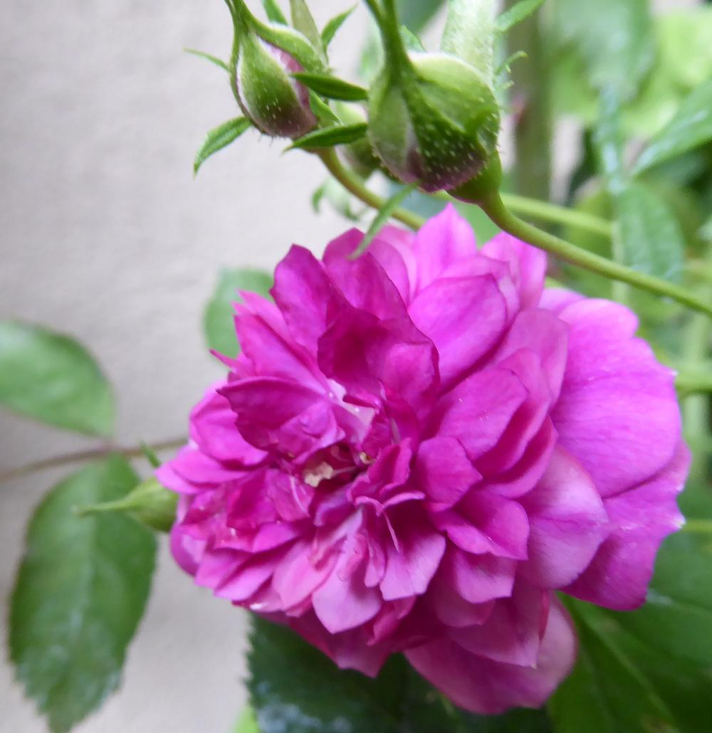 Photo of Rose (Rosa 'Sweet Chariot') uploaded by JulieB