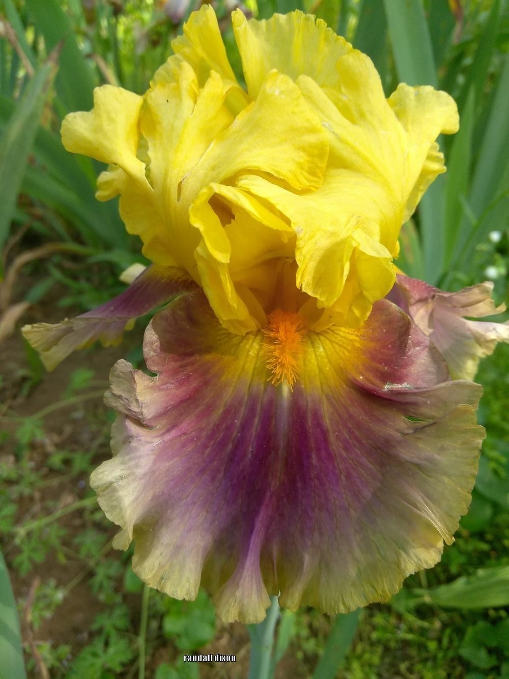 Photo of the bloom of Tall Bearded Iris (Iris \'In Living Color ...
