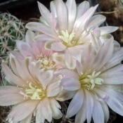 Location: From my collection. Poland.Date: 2018-05-06Gymnocalycium bruchii ssp. niveum LF90
