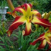 Photo Courtesy of Nova Scotia Daylilies Used with Permi