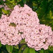 Location: Botanical Gardens of the State of Georgia...Athens, GaDate: 2018-05-06Pink Mountain Laurel 025