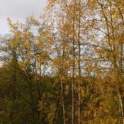 Location: Cedarhome, WashingtonDate: 2009-10-30The edge of an aspen grove, alders in the background, I