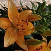 Date: 2018-05-07Asiatic Lily