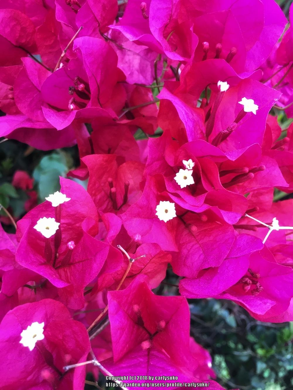 Photo of Bougainvilleas (Bougainvillea) uploaded by carlysuko