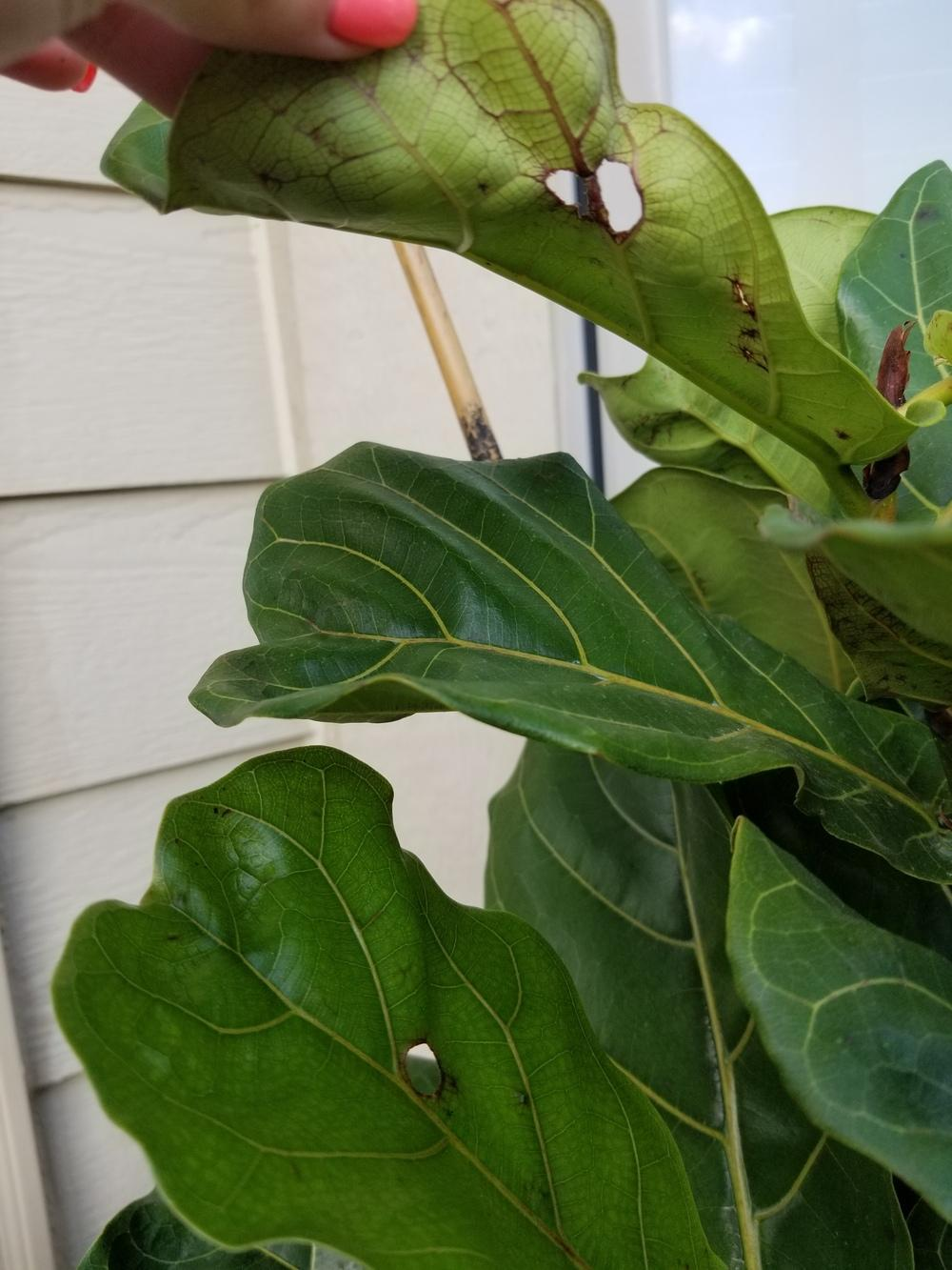 Ask A Question Forum Fiddle Leaf Fig With Spots And Holes