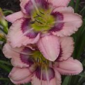 Photo Courtesy of Westbourne Daylilies Used with Permission