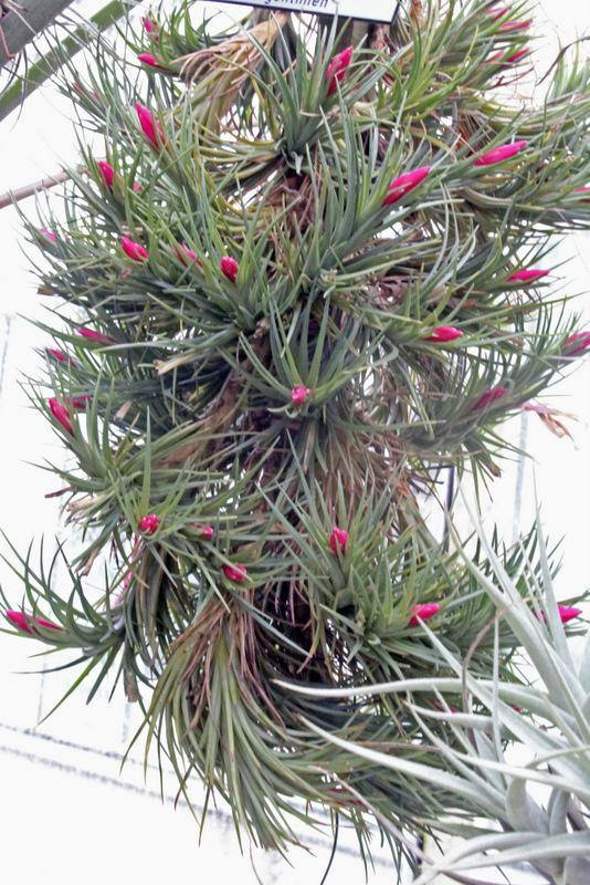Photo of Air Plant (Tillandsia tenuifolia) uploaded by RuuddeBlock