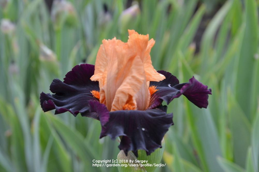 Photo of Tall Bearded Iris (Iris 'Brilliant Disguise') uploaded by Serjio