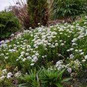 "Location: Clinton, Michigan 49236Date: 2018-05-11""Iberis sempervirens, 2018 photo, Candytuft, , USDA Hardiness Zon"