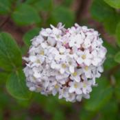 "Location: Clinton, Michigan 49236Date: 2018-05-11""Viburnum carlesii, 2018 photo, Koreanspice Viburnum, , USDA Hard"