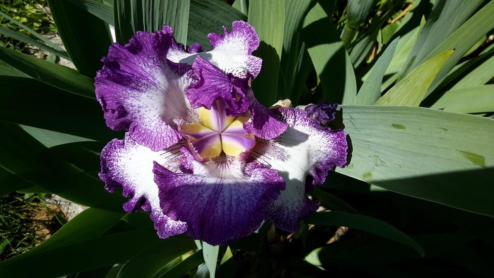 Photo of Tall Bearded Iris (Iris 'Mariposa Autumn') uploaded by Hajue