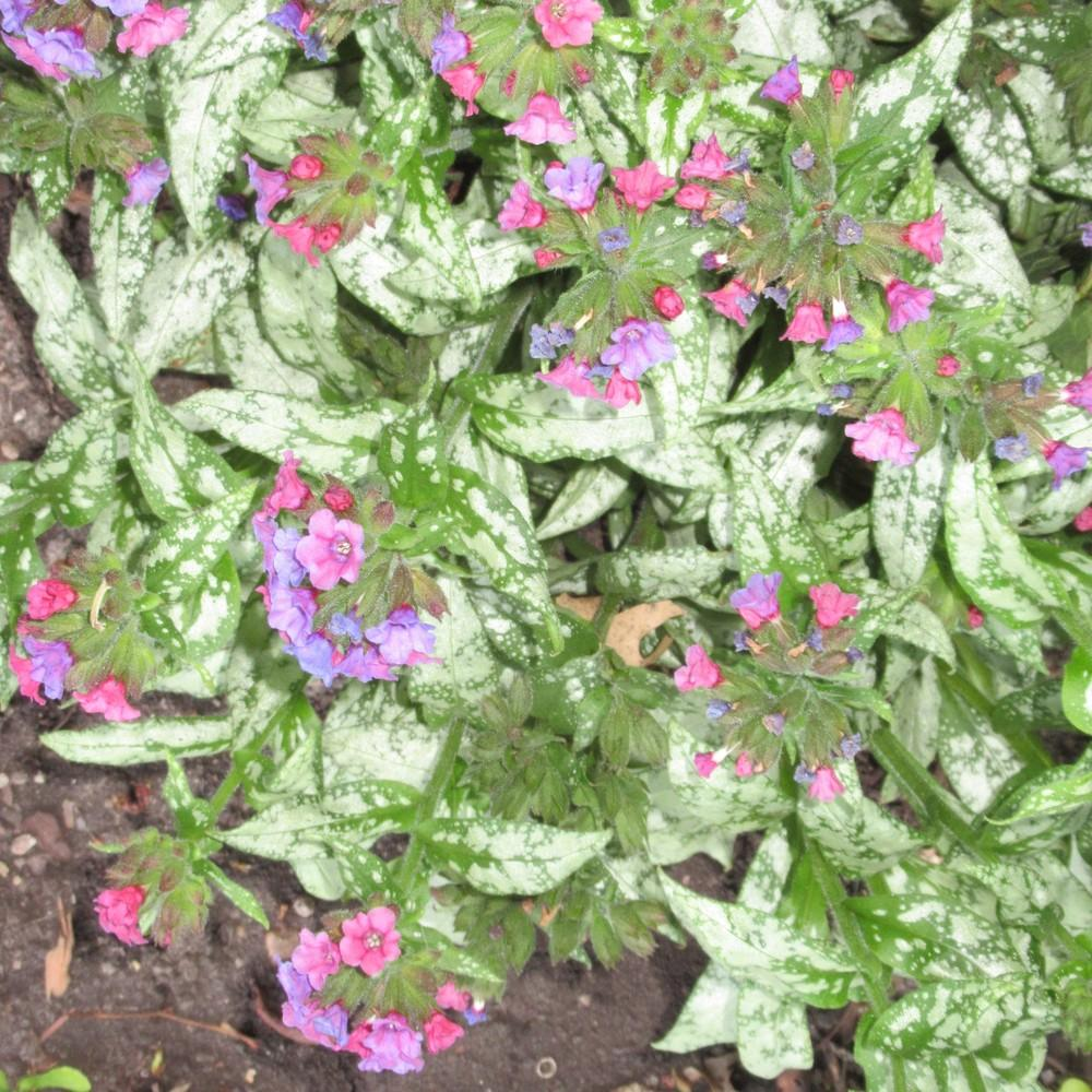 Photo Of The Entire Plant Of Lungwort Pulmonaria Silver Bouquet