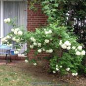 Location: In my mom's garden, Falls Church, VADate: 2018-05-05Blooming again after 6-8 years!